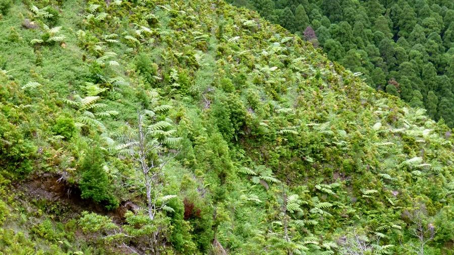 Área invadida em encosta. Foto de SPEA Açores.