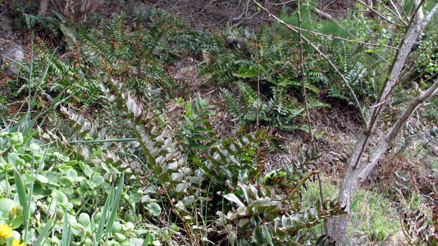 Área invadida em subcoberto de habitat prioritário (charnecas macaronésias; foto SPEA Açores).