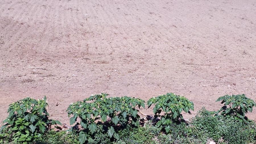 Plantas dispersas na margem de campo agrícola.