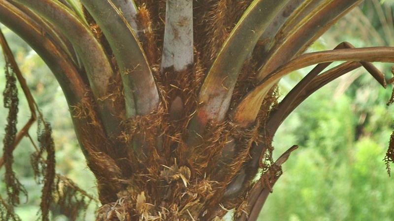 Pormenor do caule, evidenciando inserção das estipes (base das frondes). Foto de SPEA Açores.