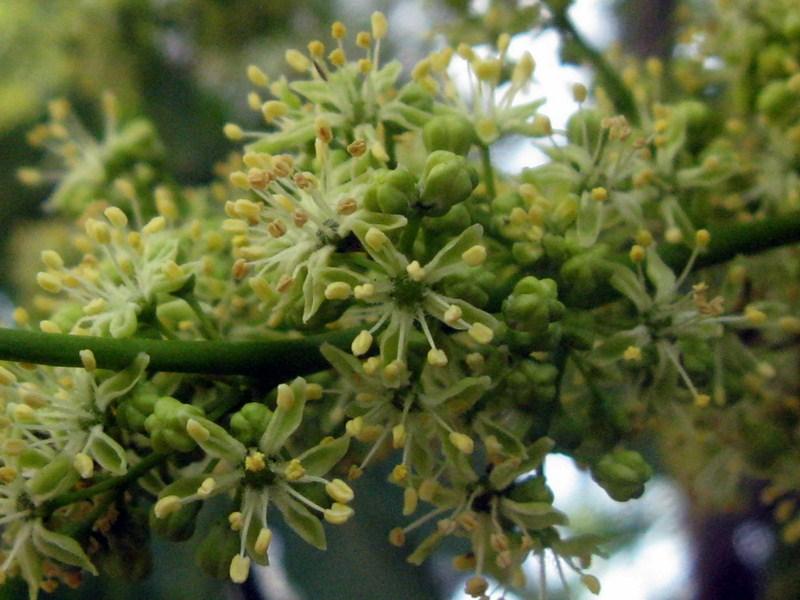 Detalhe da floração.