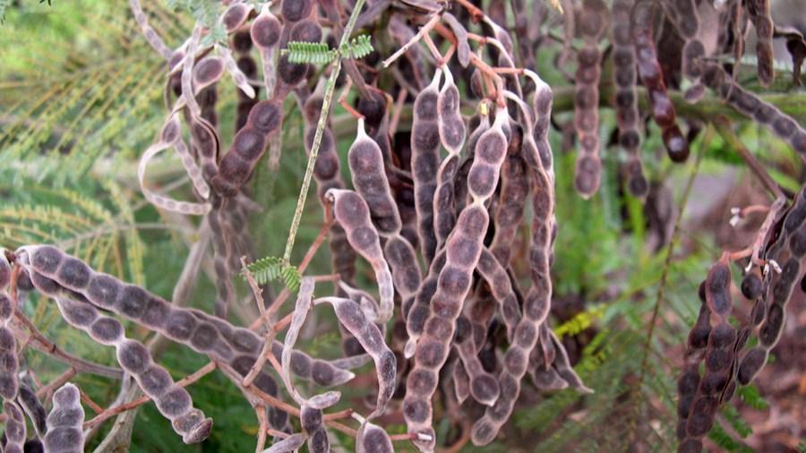 Vagens castanho-escuras, contraídas entre as sementes.