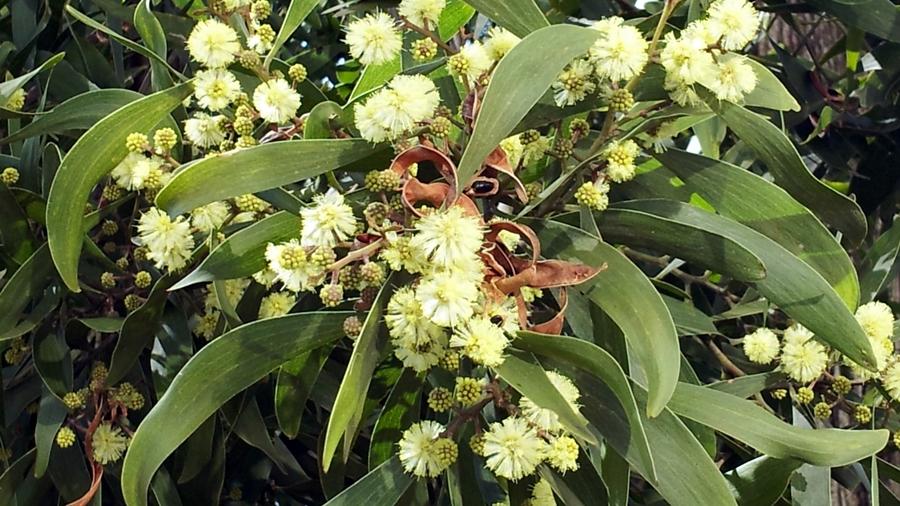 Flores amarelo-pálidas, reunidas em capítulos e vagens do ano anterior.