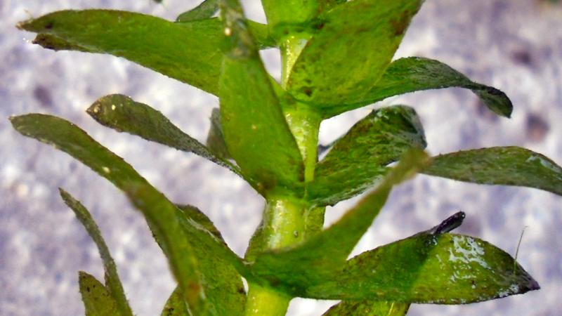Detalhe de um caule onde se observam que mais de 3 folhas (4, 5 ou 6) se ligam a cada nó, caraterística importante para a identificação da espécie.