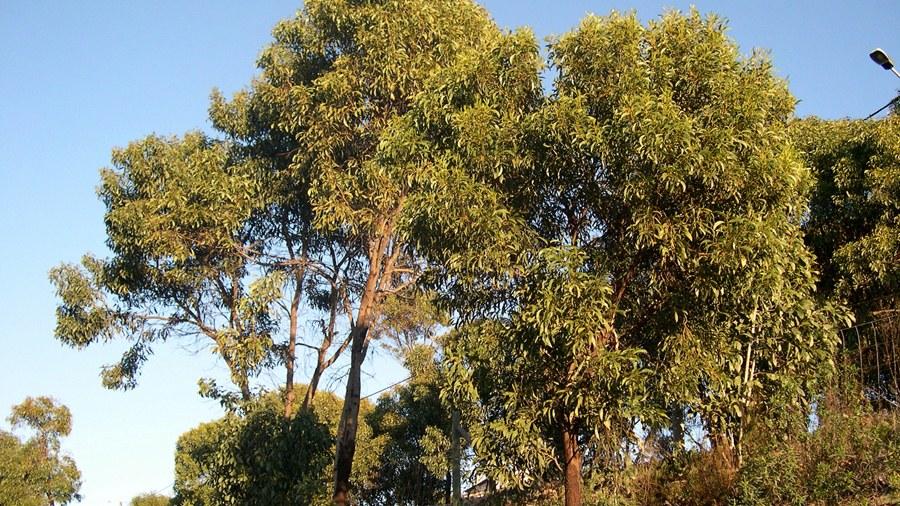 Aspeto geral da árvore.