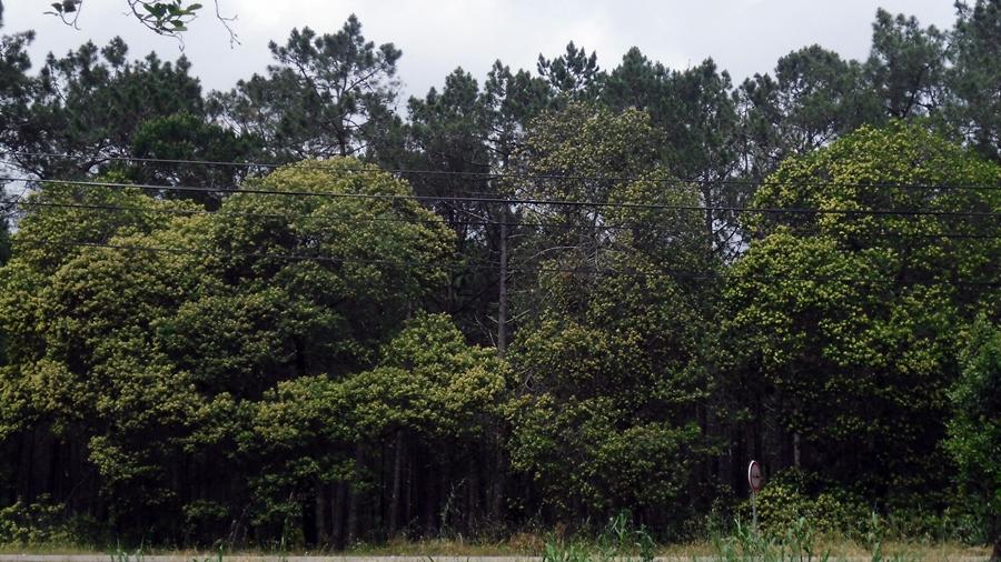 Aspecto geral da árvore.