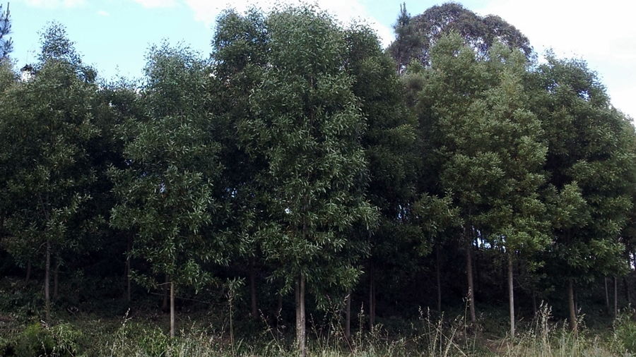 Aspecto geral das árvores.
