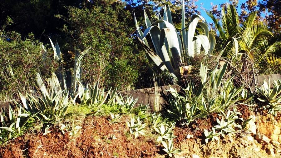 Plantas adulta rodeadas de plantas jovens.