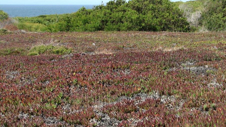 Tapete de chorão-das-praias evidenciando algumas áreas a secar, mas que impedem de igual forma o desenvolvimento de outras espécies de plantas.