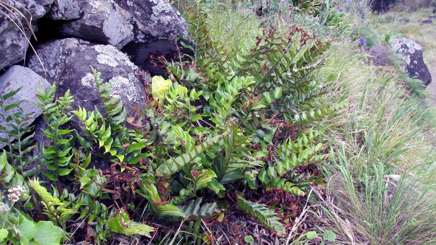 Aspecto geral da planta (foto SPEA Açores).