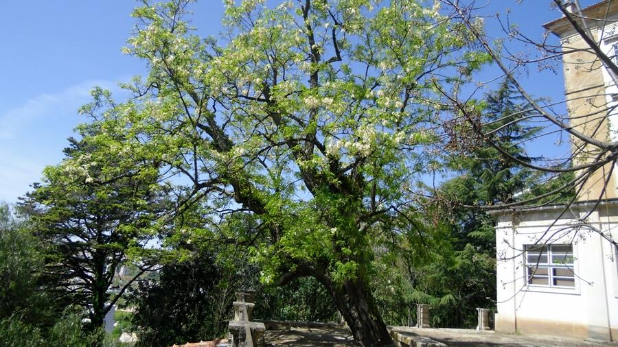 Aspeto geral de uma árvore em floração.