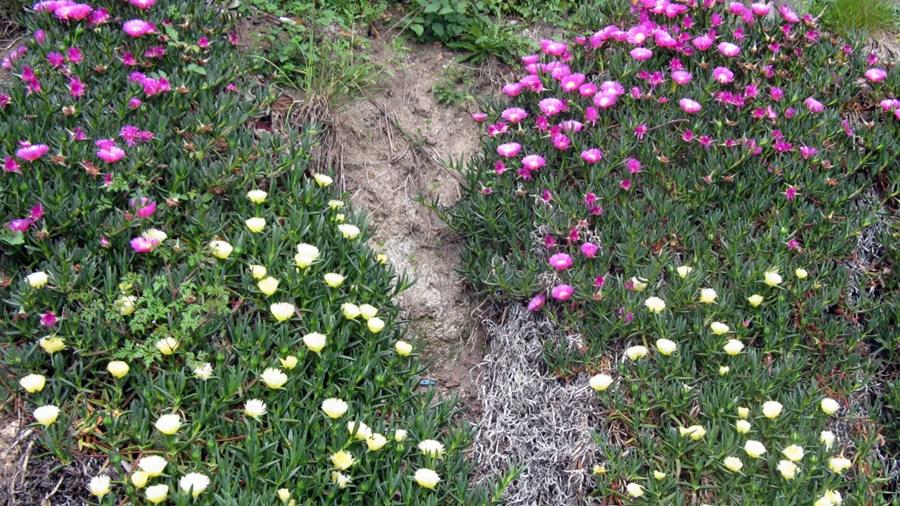 Aspeto das plantas em floração, evidenciando flores rosadas e amarelas.