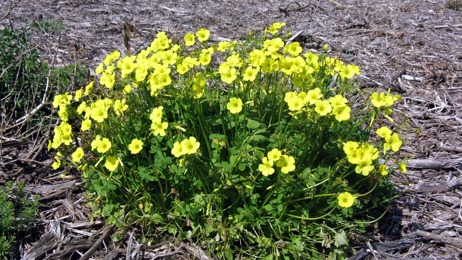 Aspeto da planta em floração.
