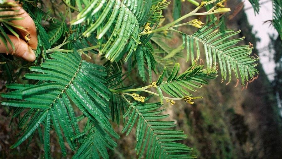 Ramo evidenciando as folhas recompostas verde-escuras e os ápices dourados nos raminhos jovens.