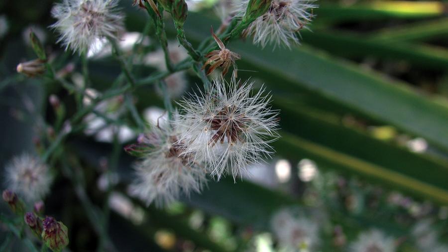Cipselas (castanhas) com papilhos de pelos na parte superior.