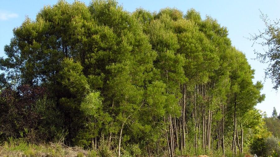 Aspecto das árvores quando crescem próximas.