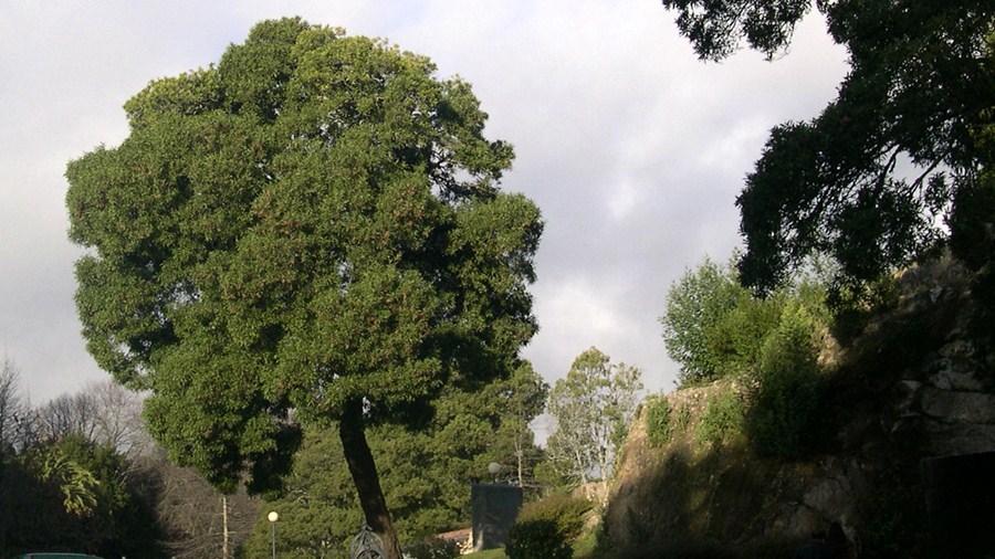 Aspeto da árvore quando isolada (espaço ajardinado).