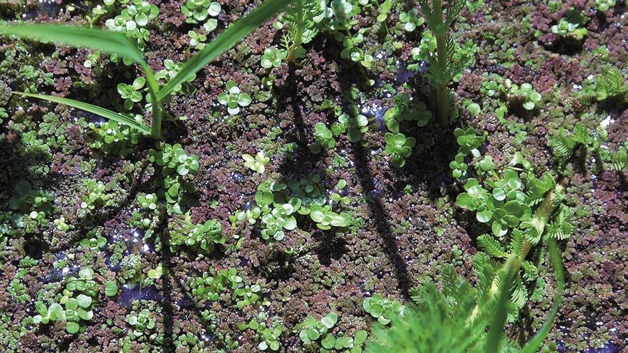 Azolla filiculoides (avermelhada) junto de outras plantas aquáticas (Foto: Lísia Lopes).
