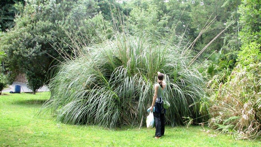 Aspeto geral de uma planta evidenciando uma roseta de folhas de grandes dimensões.