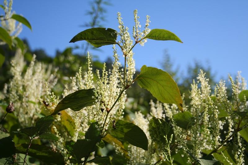 Detalhe das flores esbranquiçadas, reunidas em fascículos de 2-5 flores, por sua vez reunidos em panículas.