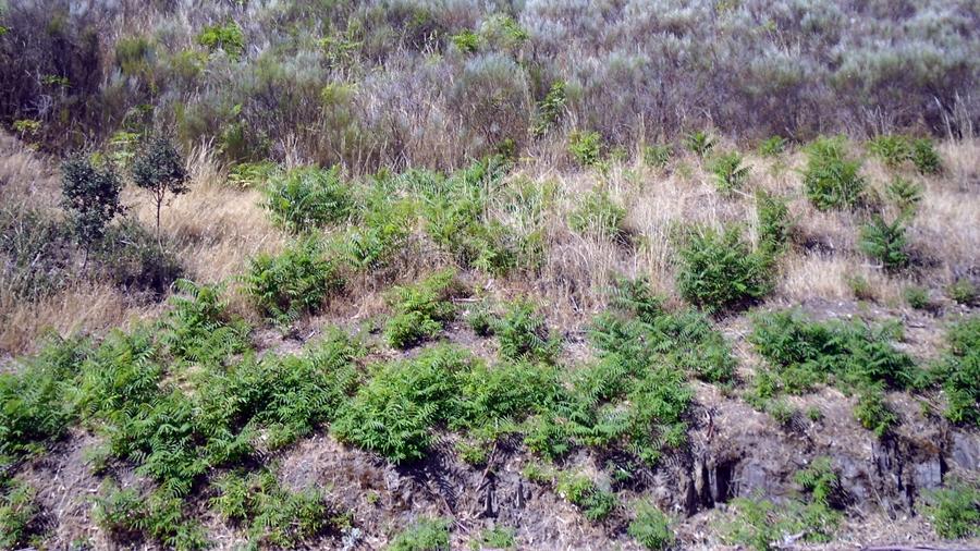 Área invadida com plantas jovens a colonizar.