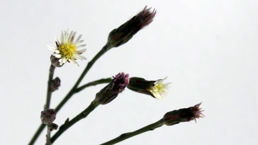 Capítulos com flores marginais branco-esverdeadas e flores do centro amarelo-esverdeadas.