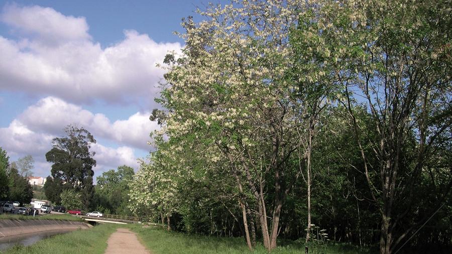Aspeto geral de árvores em floração.