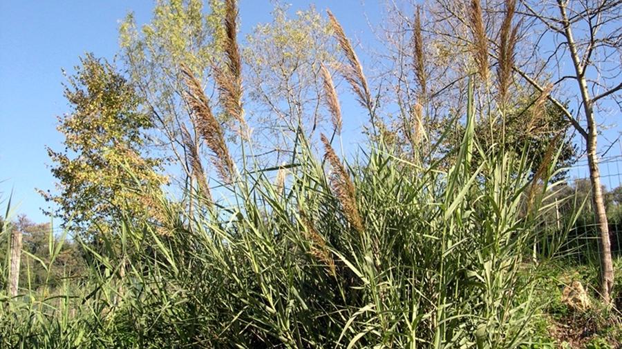 Aspeto geral da planta durante a floração.