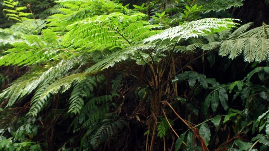 Aspecto geral da planta. Foto de Joaquim Teodósio, SPEA Açores.