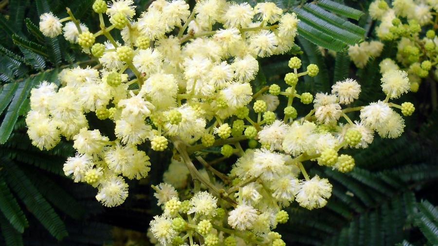 Flores amarelo-pálidas reunidas em capítulos, com algumas gemas florais ainda por abrir.
