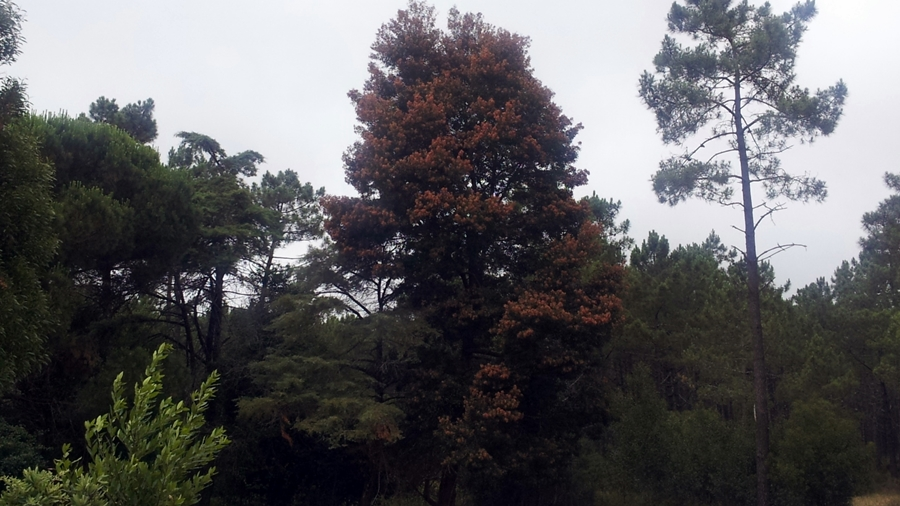 Aspeto da árvore quando isolada, com muitas vagens.