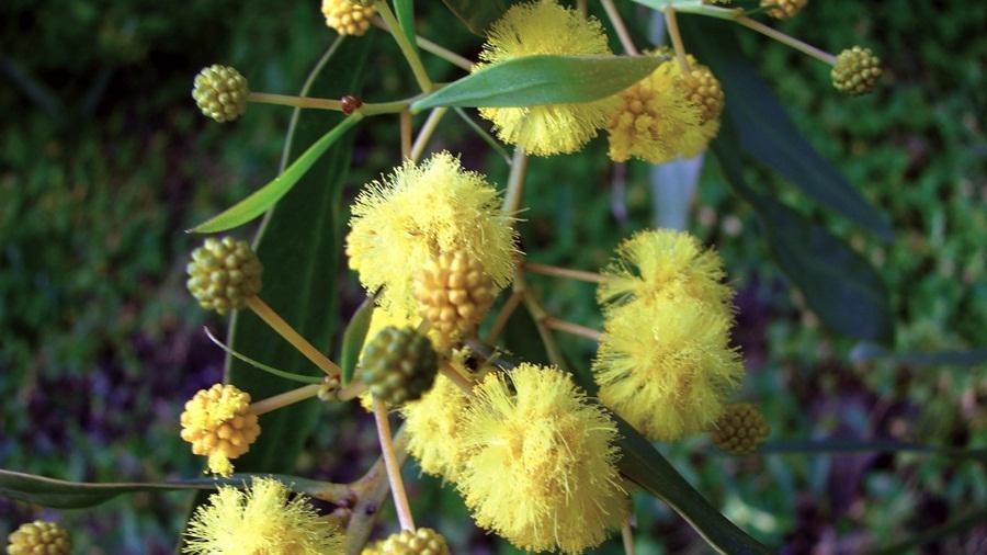 Flores amarelo-douradas reunidas em capítulos; vêem-se algumas flores ainda por abrir.