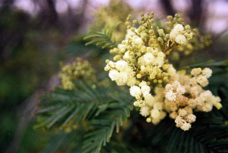 Flores amarelo-pálidas reunidas em capítulos.