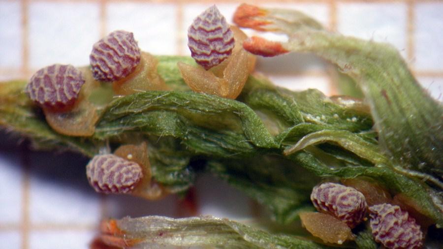 Detalhes das cápsulas (frutos).