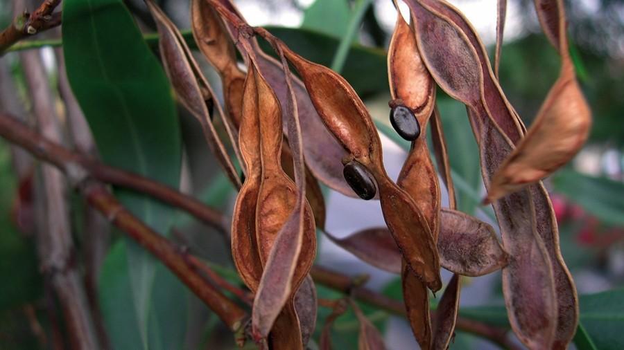 Vagens maduras, abertas, evidenciando as sementes de funículo muito curto.