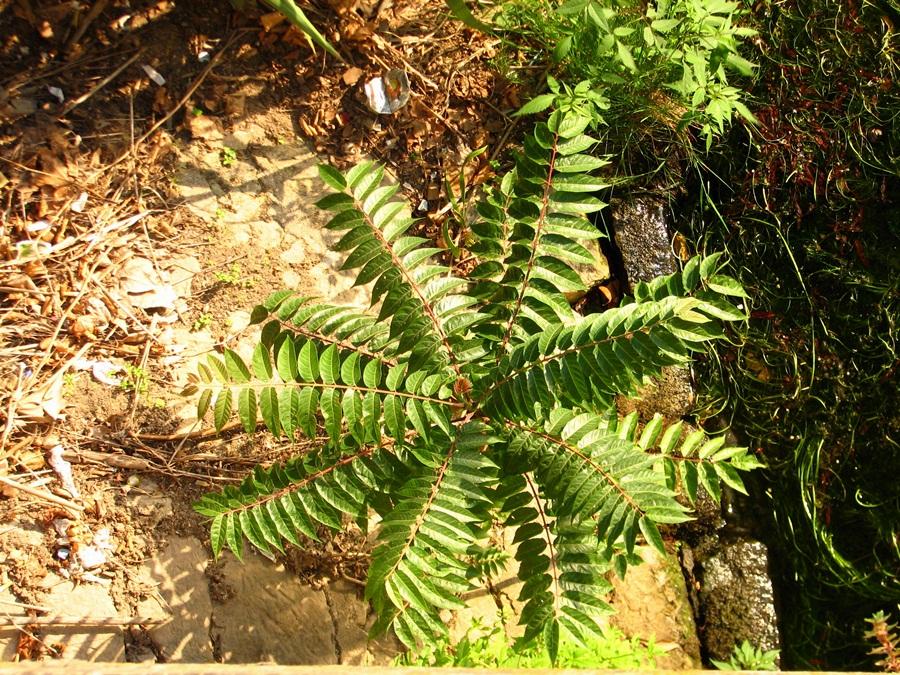 Aspeto de uma planta jovem.