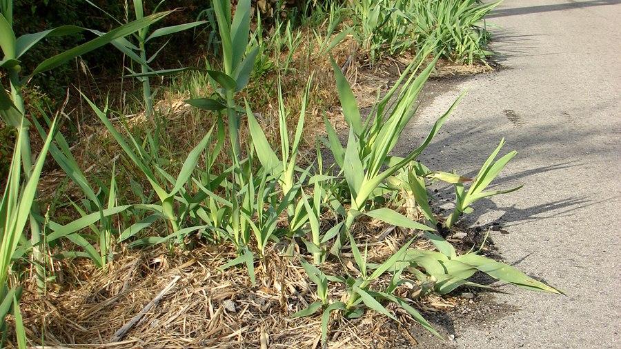Regeneração vegetativa vigorosa a crescer em pavimento betuminoso.