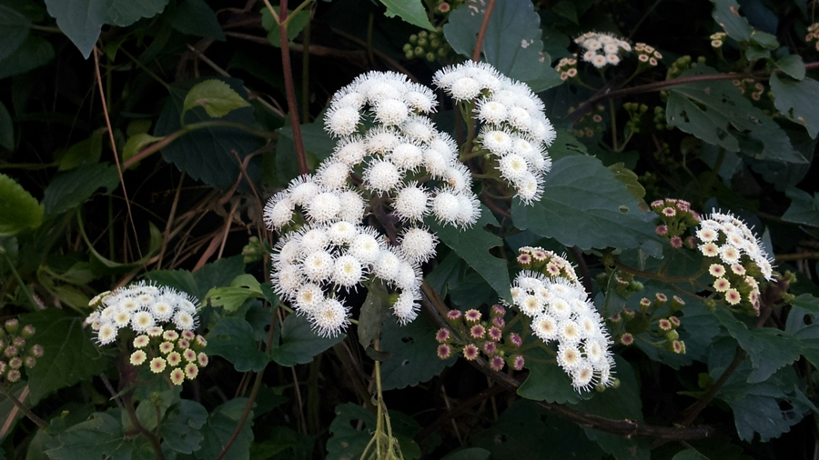 Flores agrupadas em capítulos densos.| Flowers organized in flower heads.