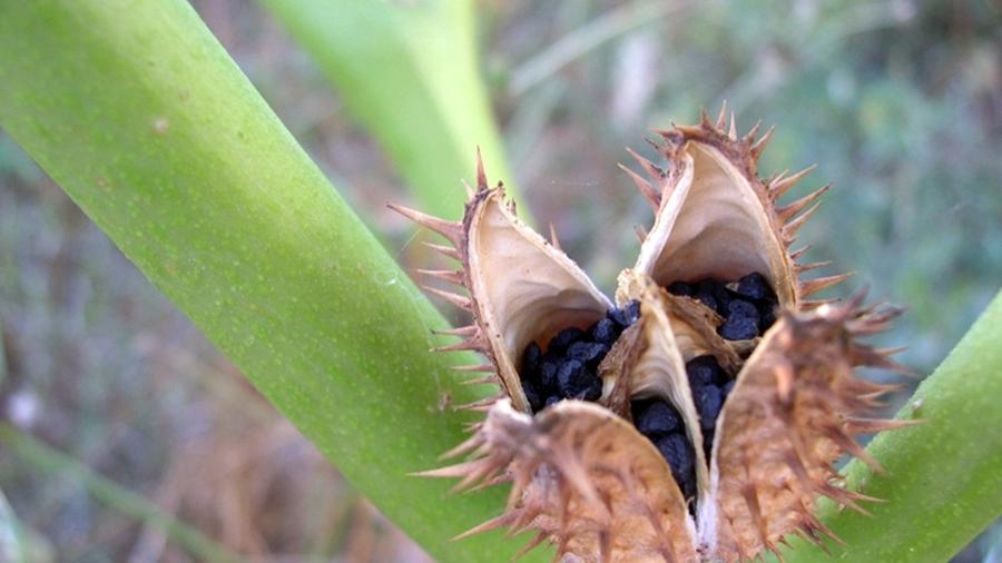 Pormenor de uma cápsula madura evidenciando as sementes negras no interior.