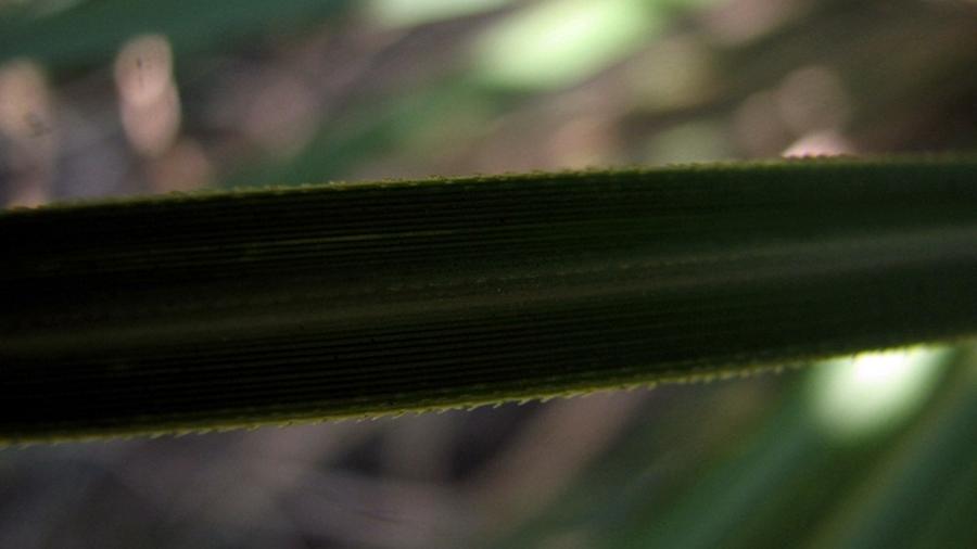 Detalhe da folha evidenciando a margem cortante.