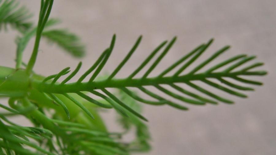 Detalhe de uma folha evidenciando os 8-30 segmentos.