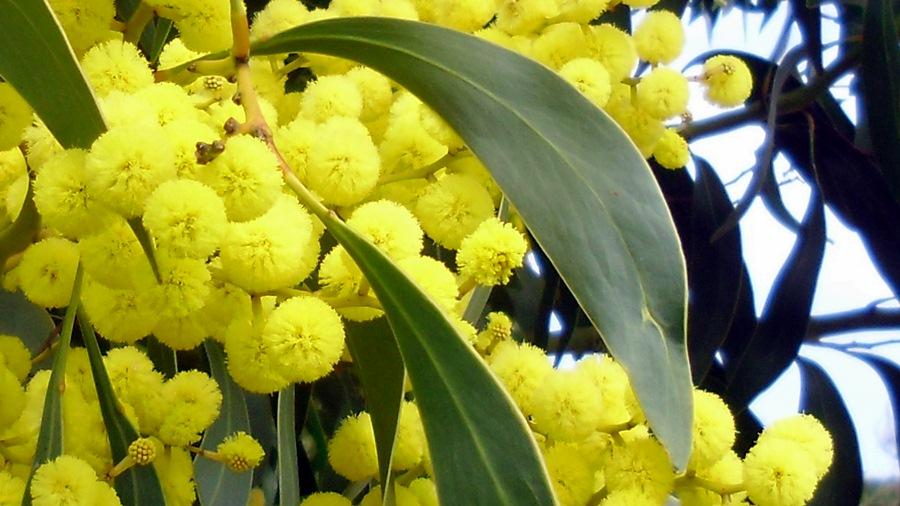Flores amarelo-douradas, reunidas em capítulos.