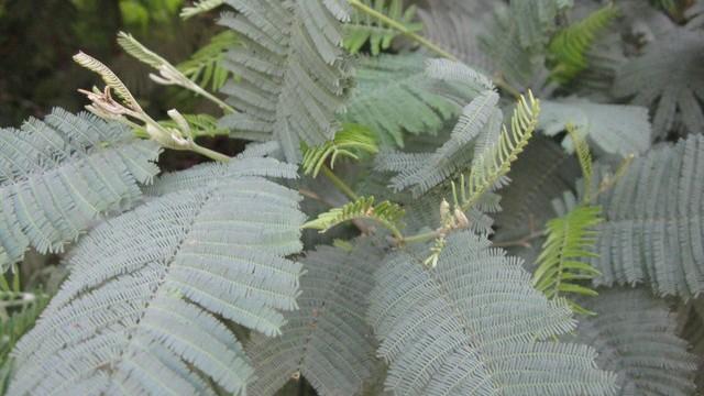 Folhas recompostas verde-acinzentadas.