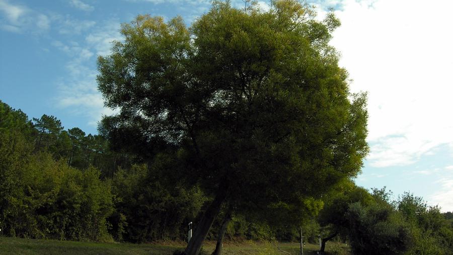 Aspeto geral de uma árvore isolada.