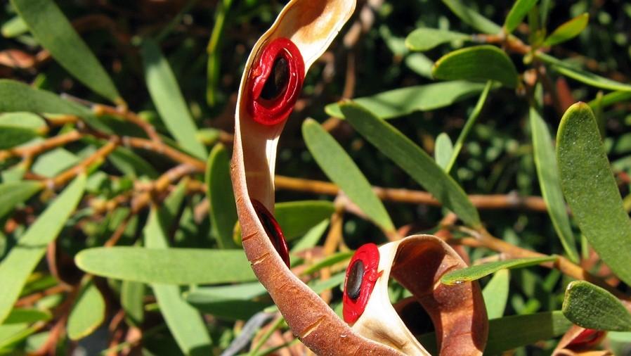 Vagens maduras, abertas evidenciando as sementes completamente rodeadas por um funículo escarlate.