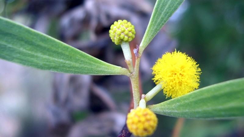 Inflorescência, ou seja, flores reunidas em capítulos.