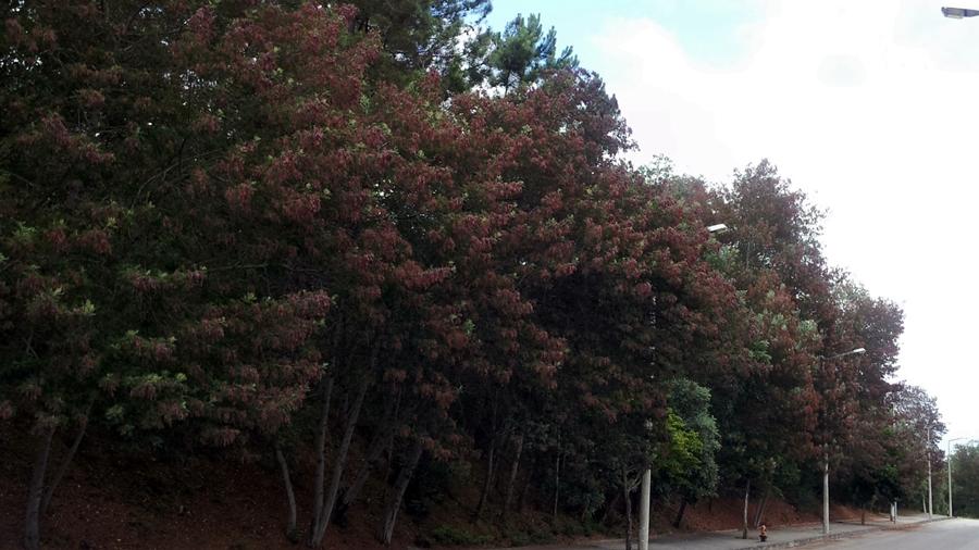 Aspecto avermelhado das árvores quando em frutificação (vagens maduras). | Redish look of the trees with pods.