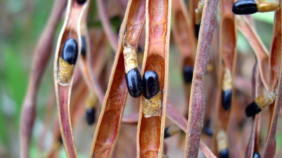 Vagens maduras evidenciando as sementes com funículo curto, esbranquiçado a castanho-claro.