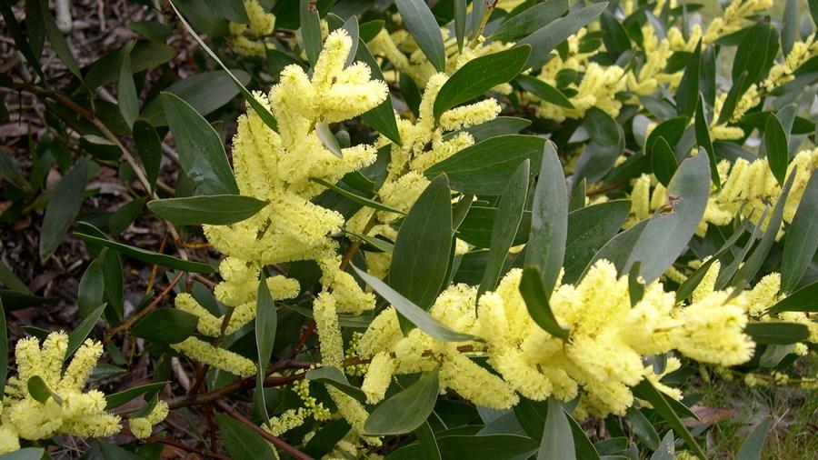 Ramos com flores amarelo-vivo reunidas em espigas cilíndricas.