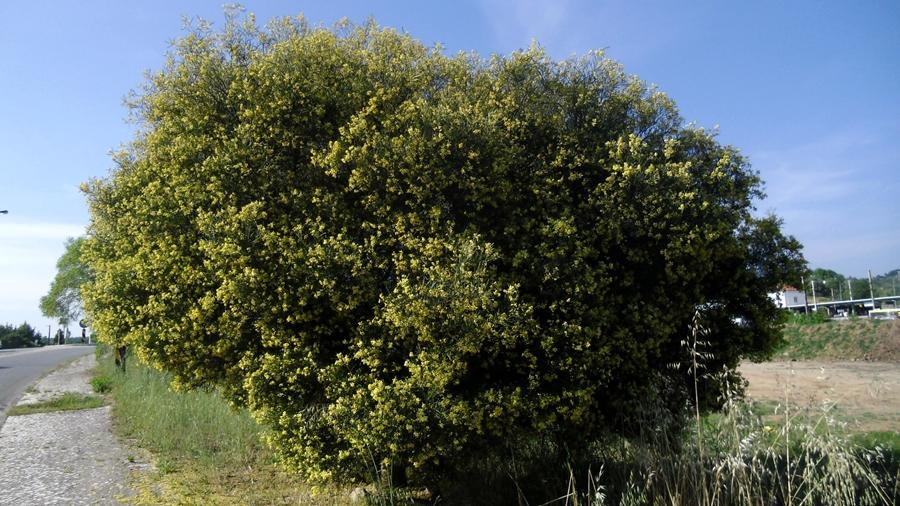 Aspeto geral de uma árvore isolada, em floração.
